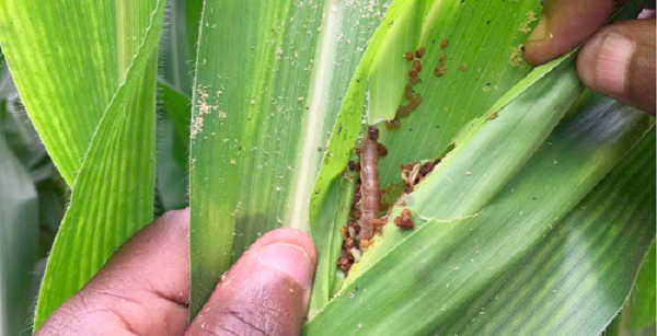 Ghana In The Hands of Fall Armyworm: Who Saves The Nation?